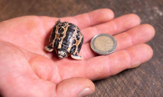 Sensation Seltene Schildkröte In Zoo Geschlüpft Kleinezeitungat