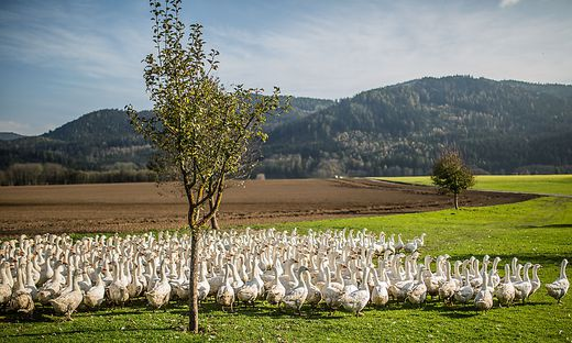 100 Bioweidegänse haben einen Hektar Auslauf, wie hier am Brunnerhof in Pirkfeld bei St. Donat