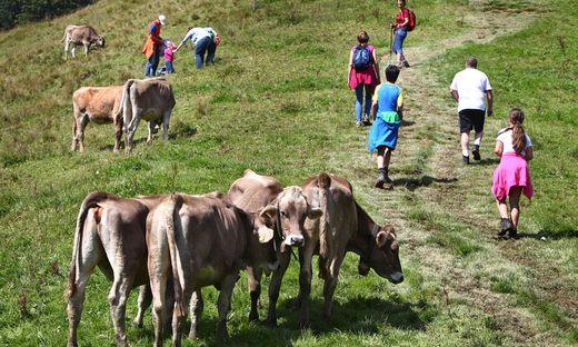 Konfliktpotenzial: Wanderern auf Almen droht immer wieder Gefahr durch Kühe.