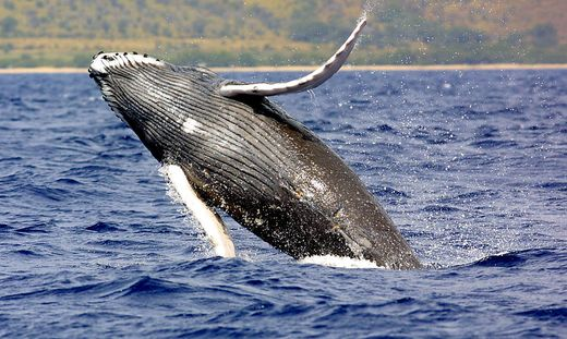 In Japan stieß eine Fähre offenbar mit einem Wal zusammen