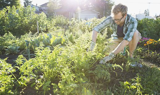 Man harvesting vegetables in community garden
