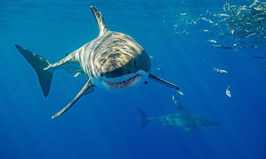 In Australien kommt es immer wieder zu Haiattacken