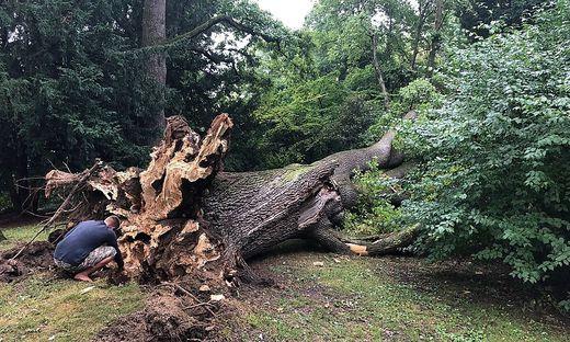 Großer Schaden: Im Sommer stürzten Eichen im Stadtpark um, im Frühjahr wird das betroffene Areal umgestaltet