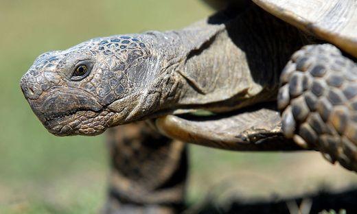 Kleiner Kühlschrank Für Schildkröten : Frühlingsgefühle: schildkröten richtig auswintern « kleinezeitung.at