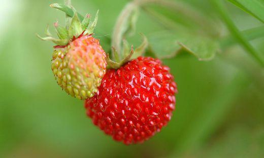 Walderdbeeren - woodstrawberries