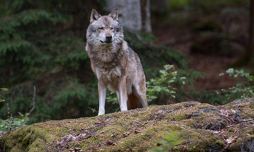 Ein Wolf (Sujet)