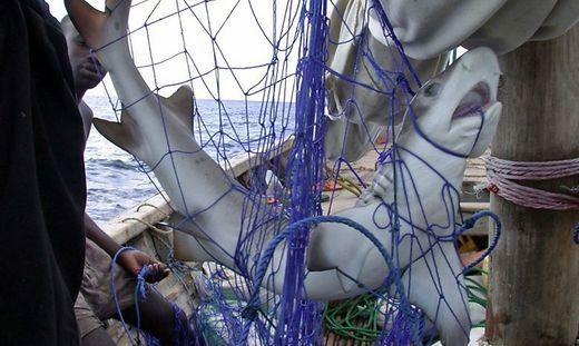 """Ein Hai, der als """"Beifang"""" ein tragisches Ende in einem Netz fand"""