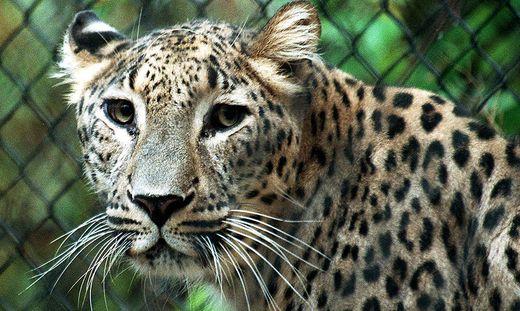 Keine Lebensgefahr Pfleger im Chemnitzer Tierpark von Leoparden