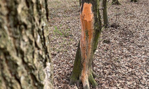 Betroffener Baum im Schachterlwald in Klagenfurt-Welzenegg