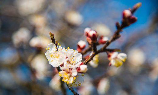 RAT VOM BIOGÄRTNER KARL PLOBERBER: Der Richtige Obstbaum