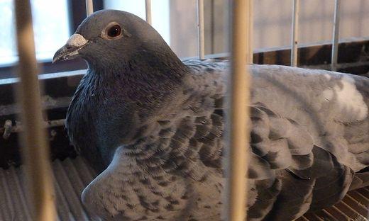 Tauben dienen im Kampf gegen die Greifvögel als Köder