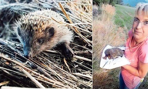 Frisch aufgepeppelt konnte Anawender den Igel wieder in die freie Wildbahn entlassen