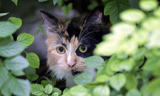 56cf9a2335be1e Tierschutz  Australien will zwei Millionen wilde Katzen töten ...