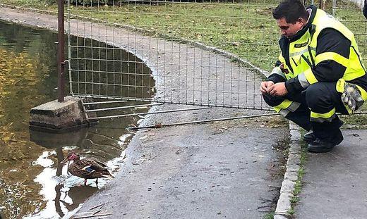Durch anfüttern wurde versucht, die Ente einzufangen