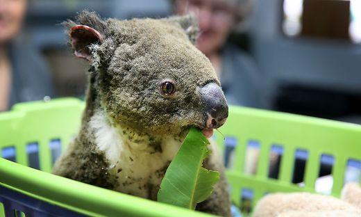Ein geretteter Koala in einem der Koala-Spitäler