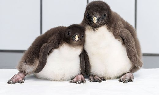 Pinguin-Nachwuchs ab Freitag zu sehen