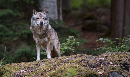 In Kärnten könnten 40 Tiere von einem Wolf getötet worden sein (Sujetbild)