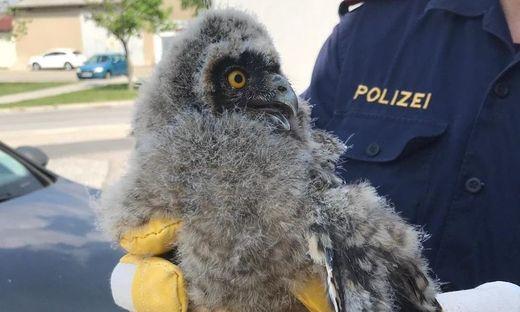 Polizisten retteten Waldeule vor Krähen-Attacke