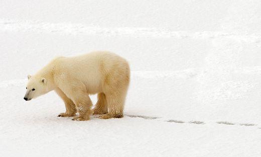 Massiv bedroht: der Polarbär