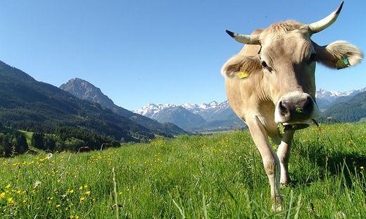 Wandern, Kuh
