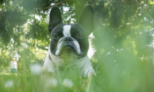 French bulldog, Boston terrier, hybrid. PUBLICATIONxNOTxINxCHN 683879748452220936