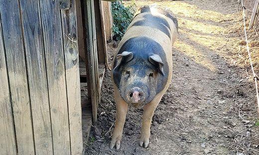 Die Schwäbisch-Hällischen Landschweine fallen durch ihre Zeichnung auf