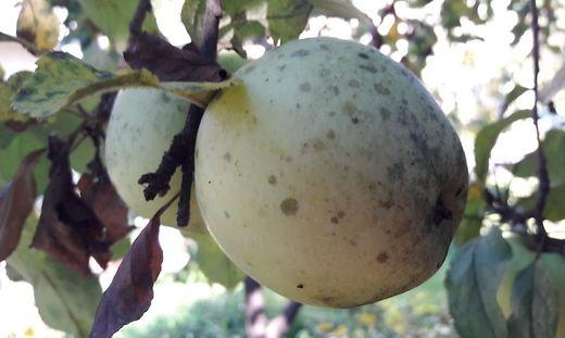 Dunkel verfärbter Apfel in einem Hausgarten