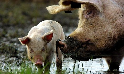 (FILES)BRITAIN-PIGS-FOOT AND MOUTH DISEASE
