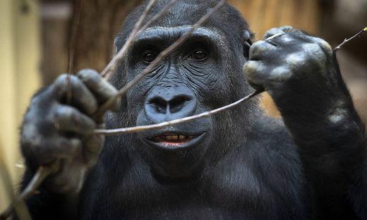 Anfang des Jahres hatten sich mehrere Gorillas mit dem Coronavirus infiziert