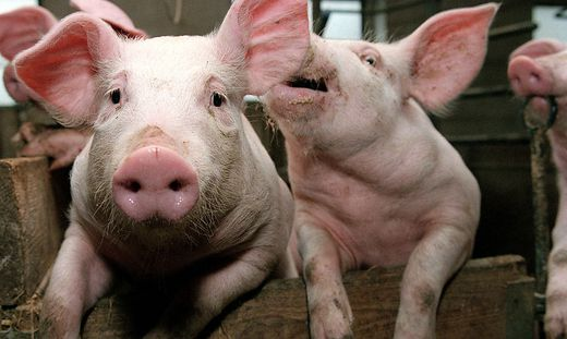 Die Schweinemast ist wieder in der Kritik.