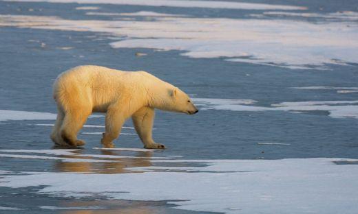Gefährliches Raubtier: der Eisbär