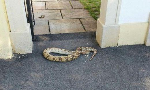 Toter Python lag vor Hauseingang