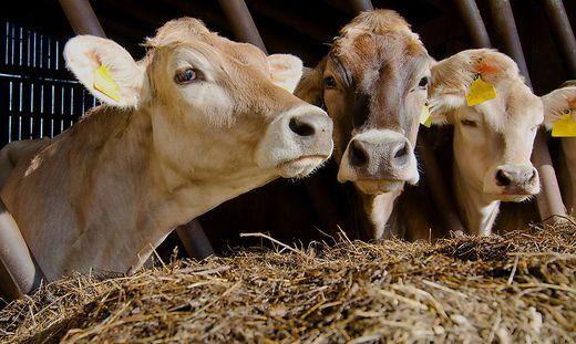 Diese Rinder haben es eindeutig besser als die Tiere im Todesstall von Heiligenblut