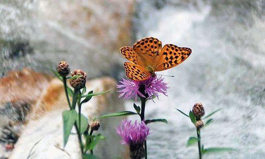 532 Schmetterlinge wurden am Tag der Artenvielfalt in nur 48 Stunden im Gößnitztal gezählt