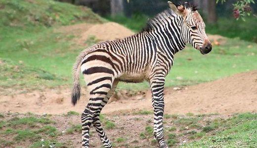 Das kleine Zebra-Fohlen wurde auf den Namen Zora getauft