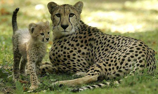 Geparden jagen Familie mit Kindern in Safaripark