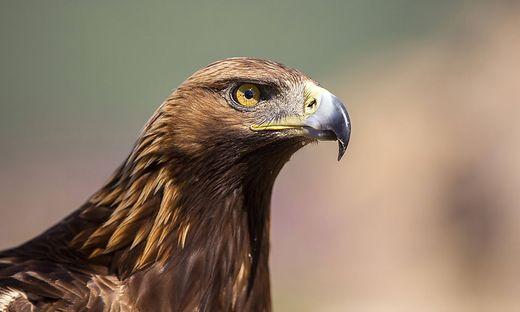 Steinadler, Stein-Adler (Aquila chrysaetos), Portraet, Seitenansicht, Spanien golden eagle (Aquila chrysaetos), portrait