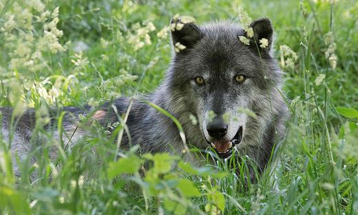 AUSTRIA-ANIMALS-WOLVES-SCIENCE
