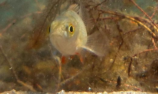 Beim Tauchen im Millstättersee sah sich Franz Josef Keller Auge in Auge mit diesem Fisch. Ob es sich vielleicht um ein Bunzele handelt?