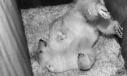 Eisbären-Mama Nora - das Kleine liegt auf ihrer Brust