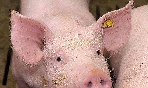 Schweinezucht kaum kostendeckend