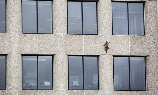Das Tier kletterte im US-Bundesstaat Minnesota unter den staunenden Blicken von Passanten 23 Stockwerke an der Außenwand eines Bürohochhauses hinauf