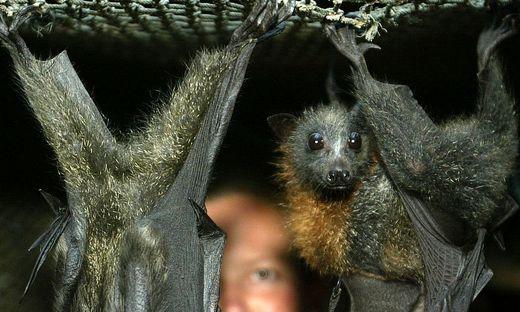 Australien Hitzegeplagte Fledermäuse Greifen Menschen An