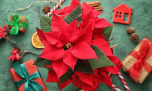 Wenn man weiß, was man zu tun hat, ist auch der Weihnachtsstern eine pflegeleichte Pflanze.