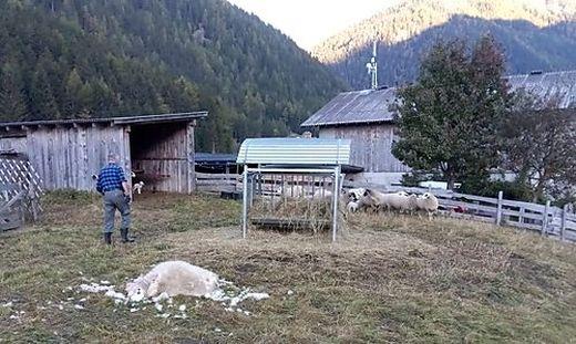 Umzäunt ist die Weide in Mallnitz auf der am Dienstag das gerissene Schaf gefunden wurde