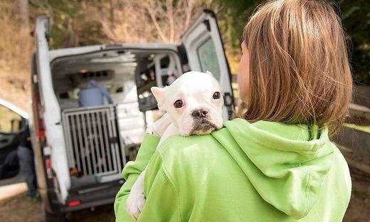 """Die restlichen 27 Hunde wurde am Dienstag von """"Tiko""""-Mitarbeitern in Eberstein abgeholt"""