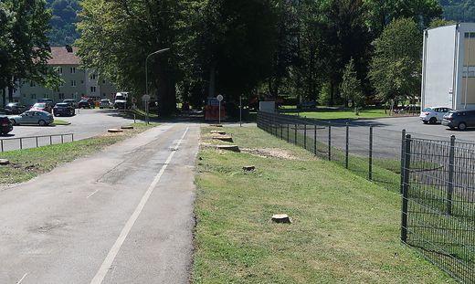 Die umgeschnittenen Bäume werden durch neue Rotbuchen ersetzt