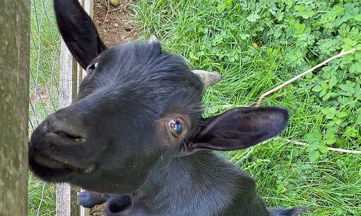 Die Ziegen von Familie Klug-Voltl sind ganz schön neugierig