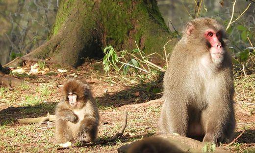 170 Japanmakaken leben auf derzeit vier Hektar auf dem Affenberg Landskron. Weitere drei Hektar sollen für die Primaten erschlossen werden