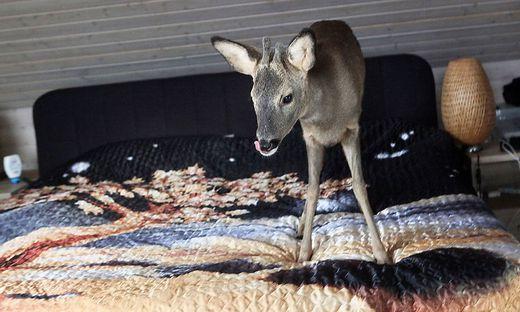 Rehkitz 'Bambi' waechst bei Paar auf
